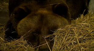 """""""Nasza Gienia śpi"""". Czy zwierzęta zapadają w zimowy sen w zoo?"""