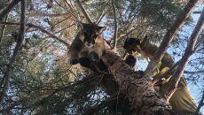 Puma siedziała na drzewie wysokości 15 metrów (California Department of Fish & Wildlife)