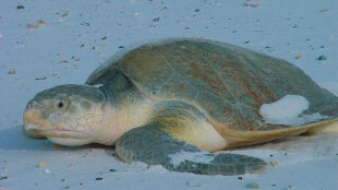 """Żółwie zatokowe zamarzają. """"Miały płetwy w dziwnych pozycjach, jakby pływały"""""""