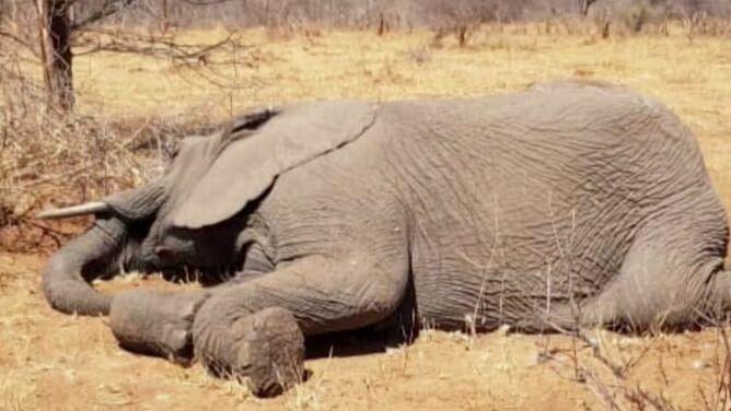 """Przez suszę padło 55 słoni. <br />""""Z desperacją czekały na deszcz"""""""
