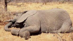 """Przez suszę padło 55 słoni. """"Z desperacją czekały na deszcz"""""""